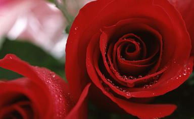 How to grow roses for Christmas