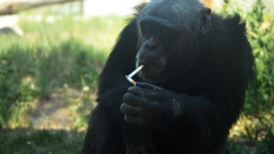 Animal rights activist sue zoo over 'smoking chimpanzee'