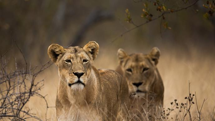 Famous lions found poisoned in Kenya