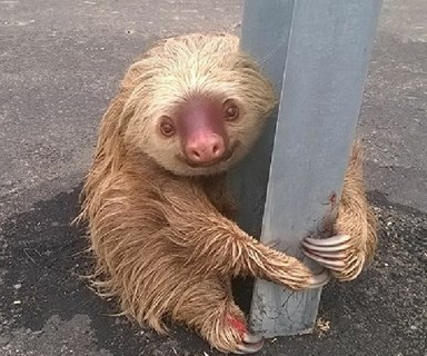 Heart-warming moment a sloth is rescued by police after getting stranded