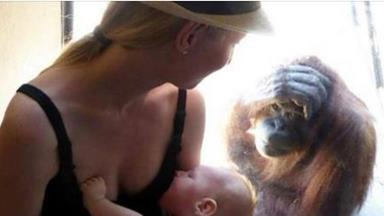Breastfeeding mother amazed by orangutans reaction