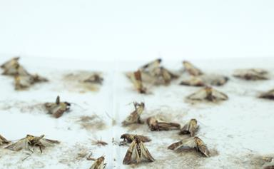 Why moths are taking over your pantry