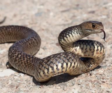 Girl, 6, dies after brown snake bite