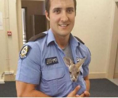 Cop adopts orphaned joey after mum dies
