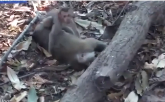 Baby monkey refuses to leave dead mum