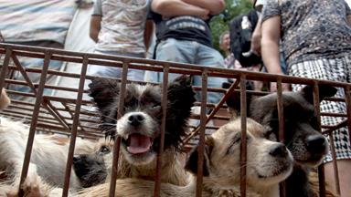 Thousands of dogs killed for Chinese dog meat festival