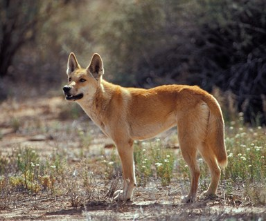 Dingo attempts to kidnap baby in WA