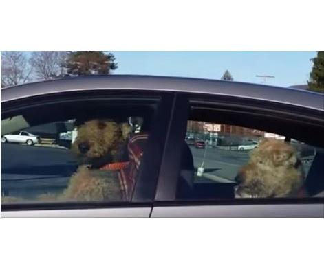 Impatient dog honks horn while waiting for owner