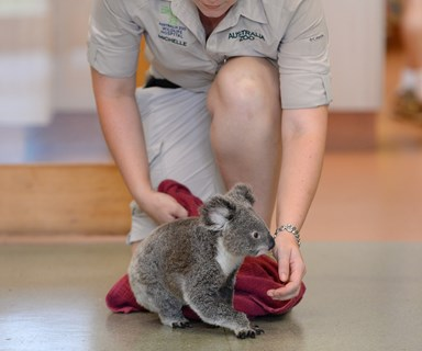 Peta the koala crawls for the first time since being hit by car