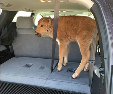 Baby bison dies after tourists put it in their car because it looks cold