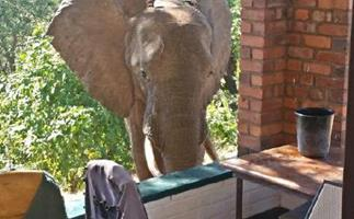 Shot elephant seeks human help