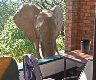 Shot elephant seeks human help