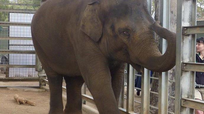 Melbourne Zoo's sick baby elephant defies the odds