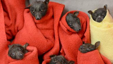 Flying foxes treated for hypothermia