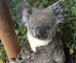 Meet Bowie, the koala with two different coloured eyes
