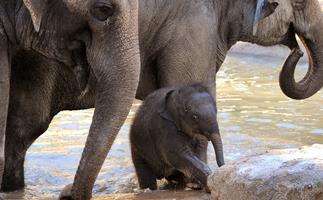 Melbourne Zoo's baby elephant Willow has died