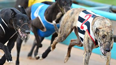 Heartbreaking: 19,000 greyhounds will need to find homes