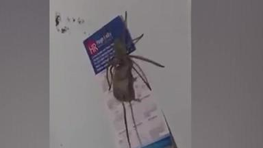 Huge huntsman spider caught trying to eat a mouse
