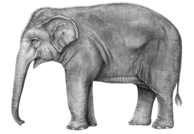 Elephant illustrations: the art of science - Australian ...