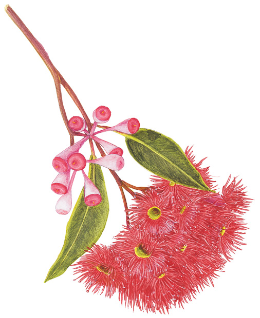 An illustrated guide to Australia's gum blossoms ...