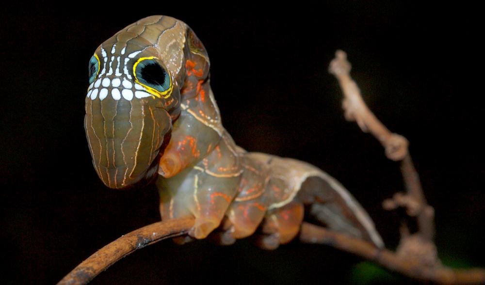Australia caterpillar found giant xxx remarkable, very