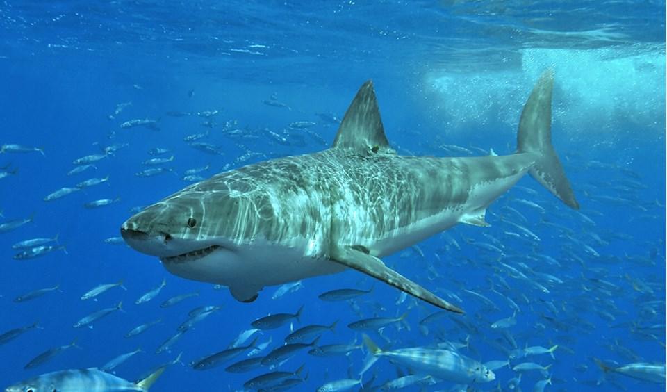 great white shark australian geographic