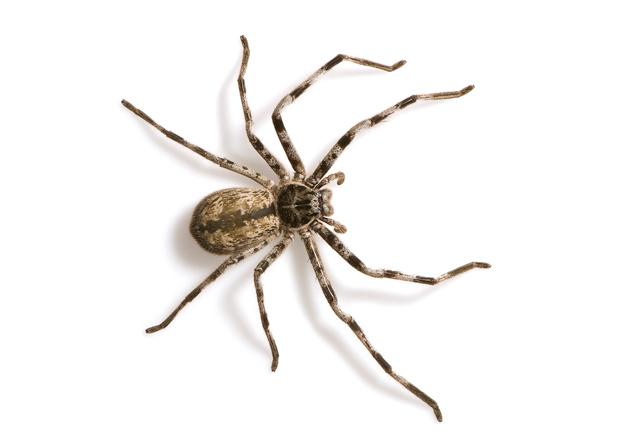 Australian spiders: the 10 most dangerous - Australian ...