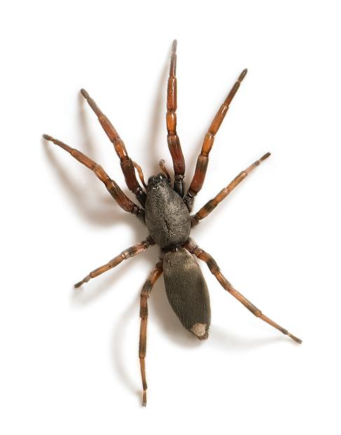 10 Most Dangerous Spiders in Australia | Rotary Club of Kenwick