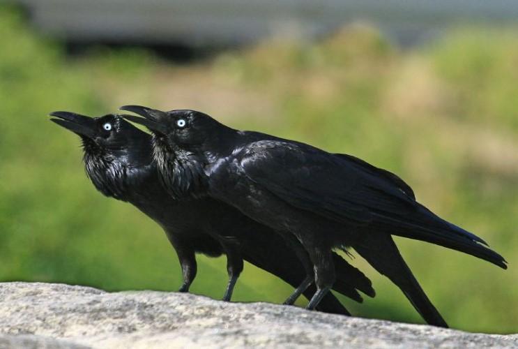 The three black crows by john byrom