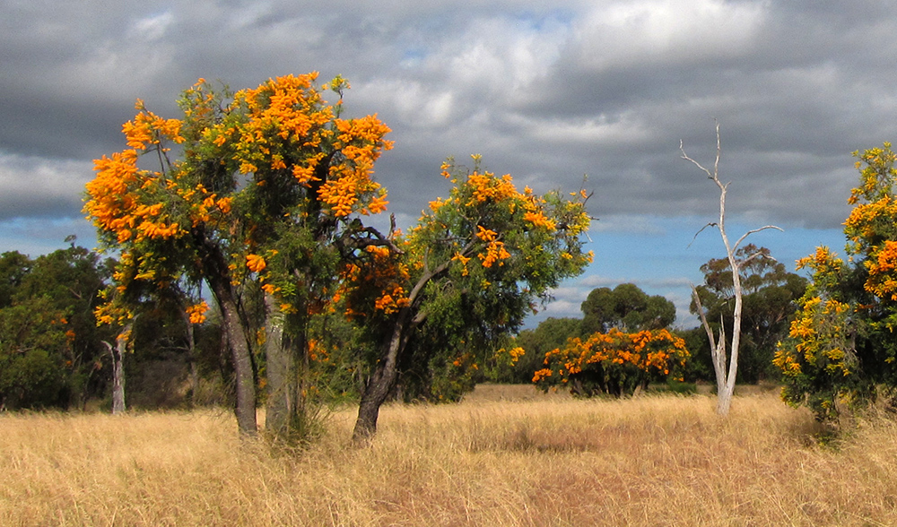 Australia's giant parasitic Christmas tree | Australian ...