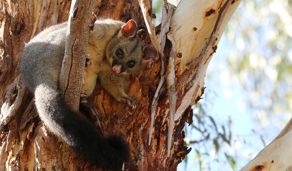 The case for welcoming possums into your backyard ...