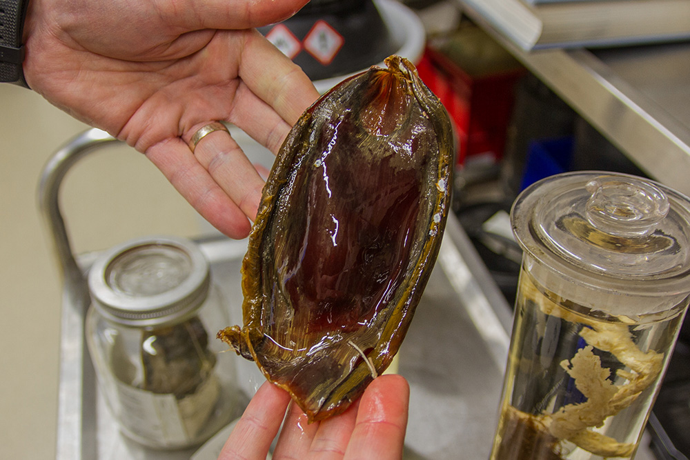 The weird world of shark eggs - Australian Geographic