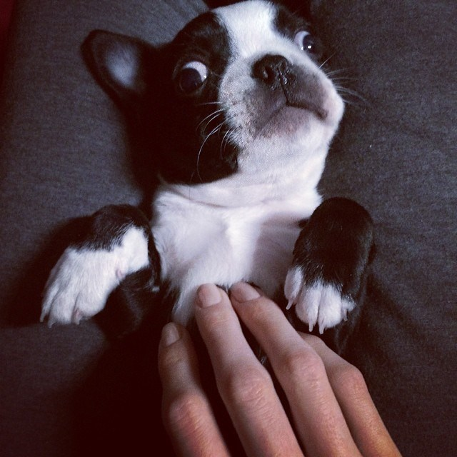 """""""Reilly loves belly rubs #crazyeyes #bostonterrier"""" …. Because come on, he's totally delicious."""