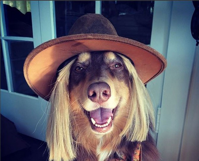 Amanda Seyfried: @mingey Amanda's dog Finn knows that fedora hats are bang on trend this season, and even adds a new wig underneath to complete the look.