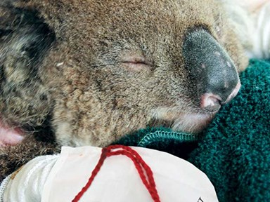Ridiculously cute koalas need our help!