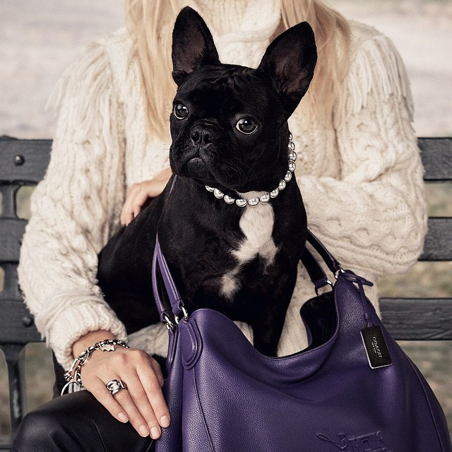 "Lady Gaga's pup, who has her own Instagram account, natch, has just been signed as the face of a major fashion campaign. Mother Monster confirmed the news with this message: ""I am so proud to announce that [@missasiakinney](http://websta.me/n/missasiakinney) is the face and star of COACH this season! Shot by Steven Meisel for the ""Coach Pups"" Campaign!"" You know that feeling when you find out a dog is achieving more in life than you? Yeah, that."