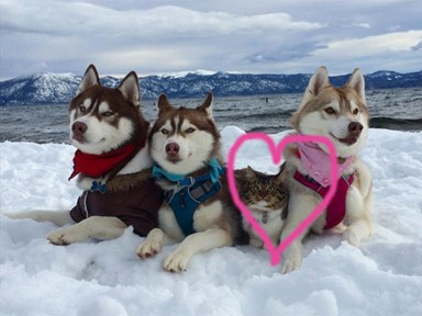This rescue cat thinks she's a husky after being raised by the big pups