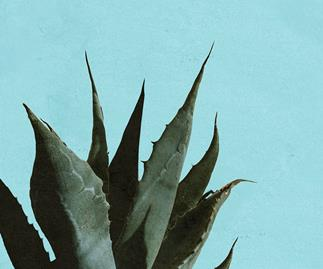 Agave plant.