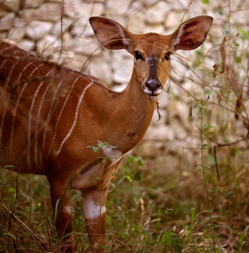 **Antelope near Royal Malewane** In the bush near Royal Malewane