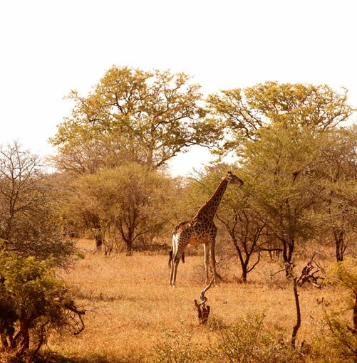 **Giraffe near Samara Private Game Reserve** Samara Private Game Reserve