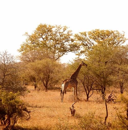 **Giraffe near Samara Private Game Reserve** Samara Private Game Reserve