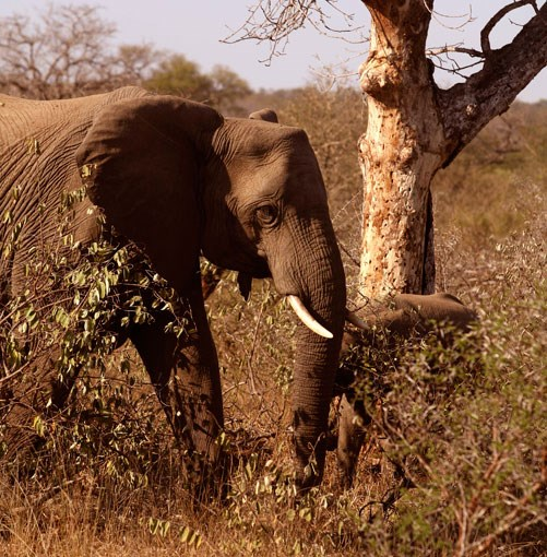 **Elephant in Kruger National Park** Kruger National Park