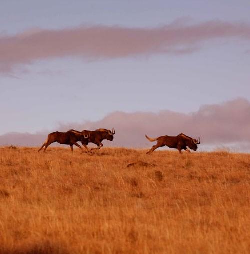 **Wildebeests near Samara** Wildebeests near Samara Private Game Reserve