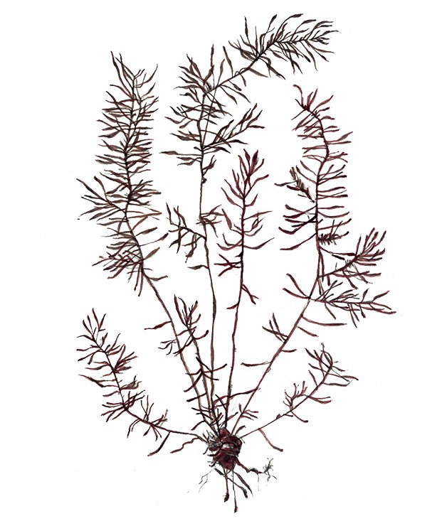 **Hijiki (Sargassum fusiforme)** Looking like long strands of fat black tea, this earthy and woody seaweed has a nutty crunch, and is often used in Japanese vegetable stews.
