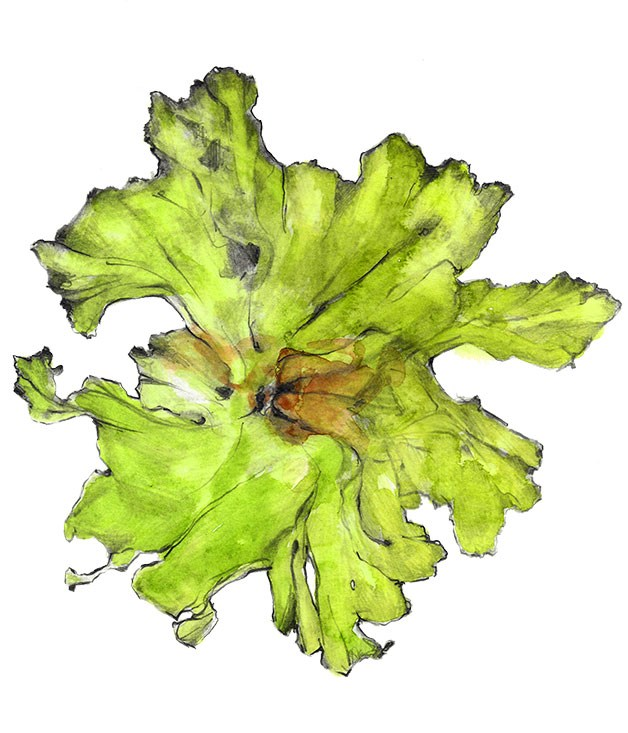 **Sea lettuce (Ulva species)** This bright green algae's delicate translucent leaves are eaten across the world and harvested by Australia's foraging chefs, such as Attica's Ben Shewry. It's also available as a dried product called Moonlight Pure Seaweed Flake from Moonlight Flat Oysters.