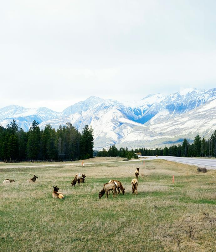**Elk in Jasper**