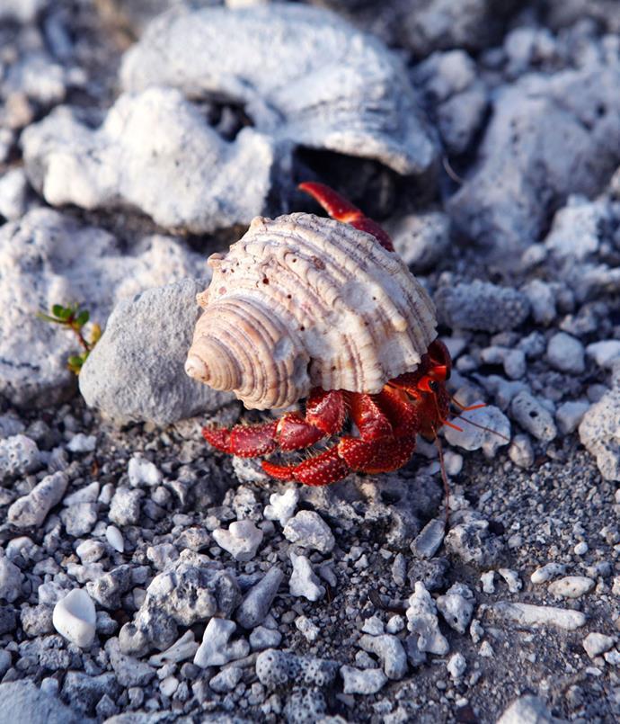 **Hermit crab**