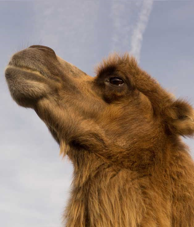"**Getting the Hump** We're calling it: camel milk could soon be on our cereal. Sunshine Coast-based QCamels sells pasteurised camel's milk at 62 retailers across the country, while Piercefield Pastures in Muswellbrook, NSW, ships to stockists from Manly to Blacktown. There's plain milk by the litre or, in the case of the latter, the option of flavoured milk (chocolate, caramel or strawberry, even) in 300ml bottles.  _[camelmilknsw.com](https://www.camelmilknsw.com ""Camel milk NSW""), [qcamel.com.au](https://www.qcamel.com.au ""QCamel"") _"