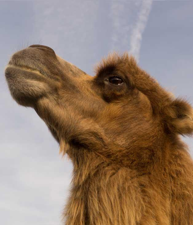 """**Getting the Hump** We're calling it: camel milk could soon be on our cereal. Sunshine Coast-based QCamels sells pasteurised camel's milk at 62 retailers across the country, while Piercefield Pastures in Muswellbrook, NSW, ships to stockists from Manly to Blacktown. There's plain milk by the litre or, in the case of the latter, the option of flavoured milk (chocolate, caramel or strawberry, even) in 300ml bottles.  _[camelmilknsw.com](https://www.camelmilknsw.com """"Camel milk NSW""""), [qcamel.com.au](https://www.qcamel.com.au """"QCamel"""")_"""