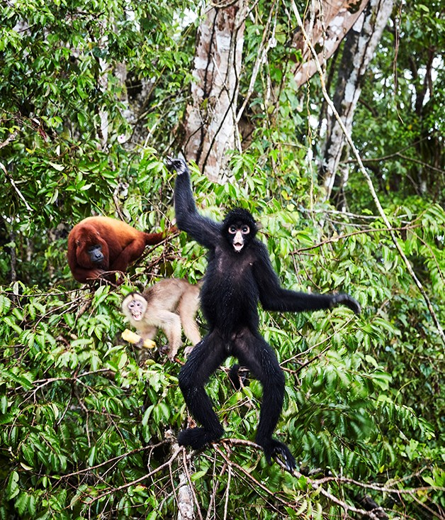 **Monkeys in the Amazon** A howler, white capuchin and spider monkey in the Amazon forrest.